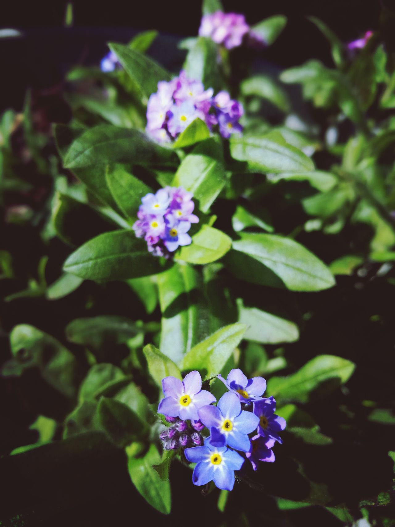 Flower Fragility Freshness Nature Plant Beauty In Nature Growth Flower Head Petal Blooming Leaf Day Close-up No People Outdoors EyeEm Nature Lover Forget Me Not Delicate Blueflower