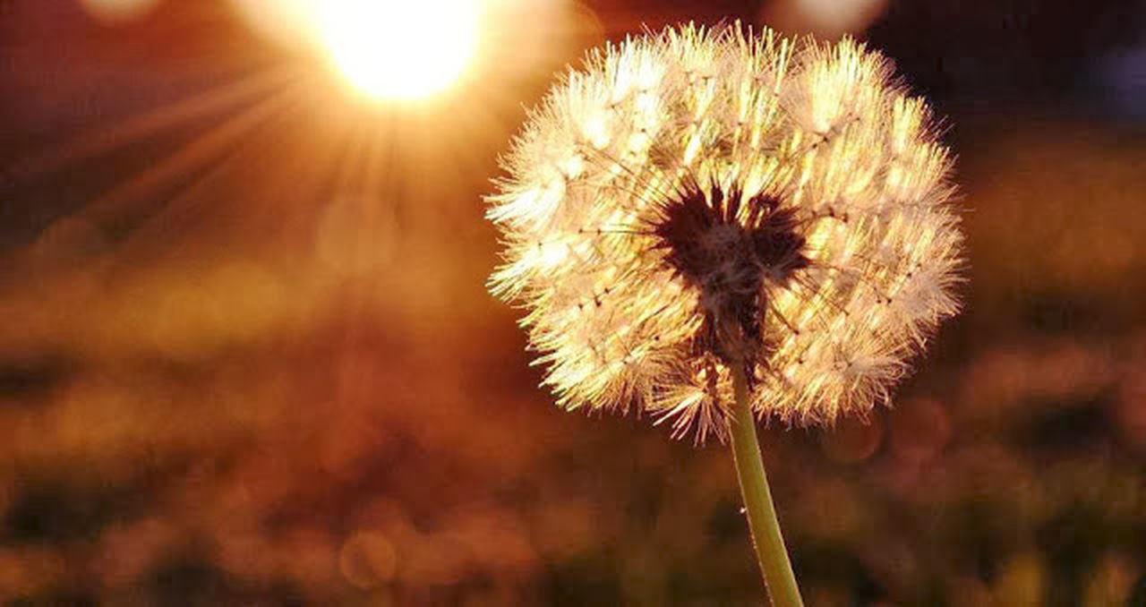 Flower Nature Fragility Flower Head Beauty In Nature Plant Dandelion Growth Sunset No People Softness Outdoors Close-up Wildflower Freshness Dandelion Seed Seed Wilted Plant Day