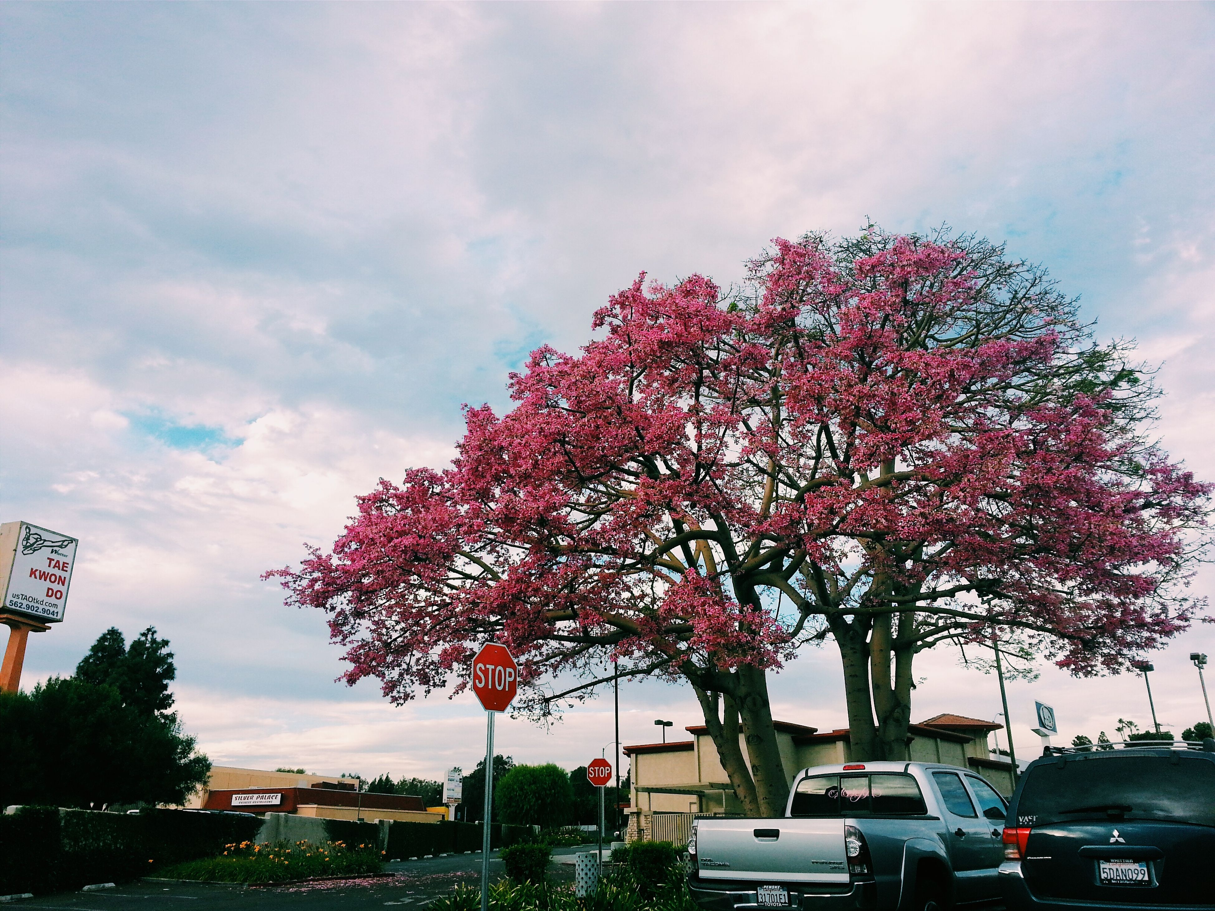 tree, sky, branch, flower, car, low angle view, growth, building exterior, pink color, cloud - sky, architecture, built structure, transportation, land vehicle, nature, city, beauty in nature, cloud, day, road