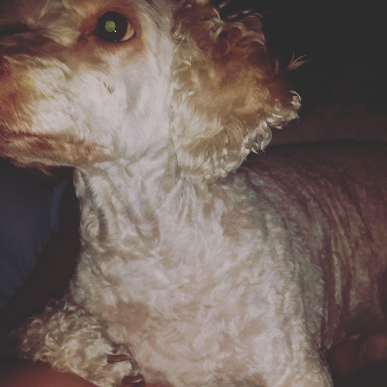 Roca my love ✌ Dog DogLove Poodle Filter Eyes Beautiful King Life First Eyeem Photo