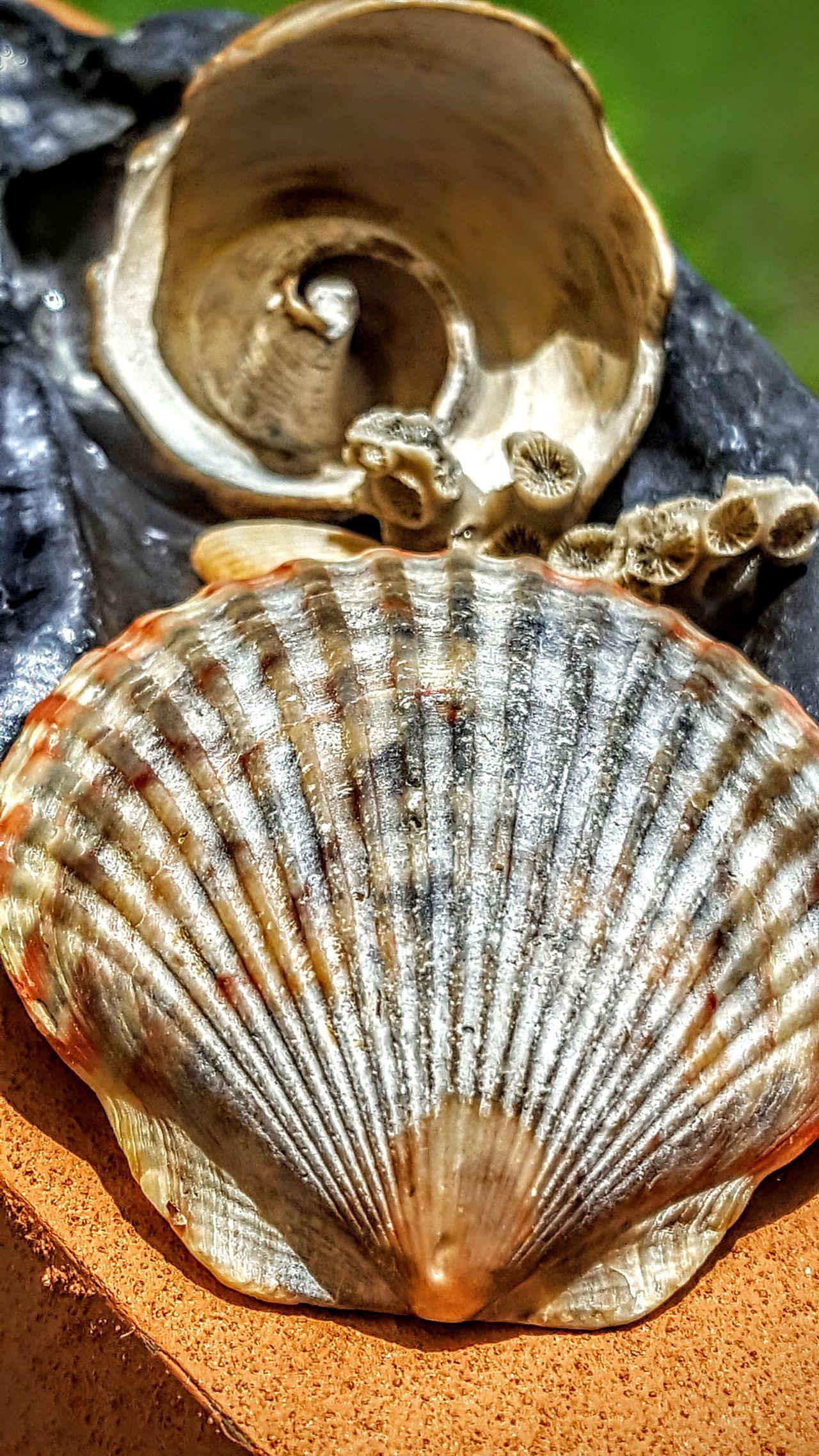 Seashells/dried Corals seashell Seashells Seashell Collection seashell Seashell Art Seashellart Seashell❤ Seashell Hunt