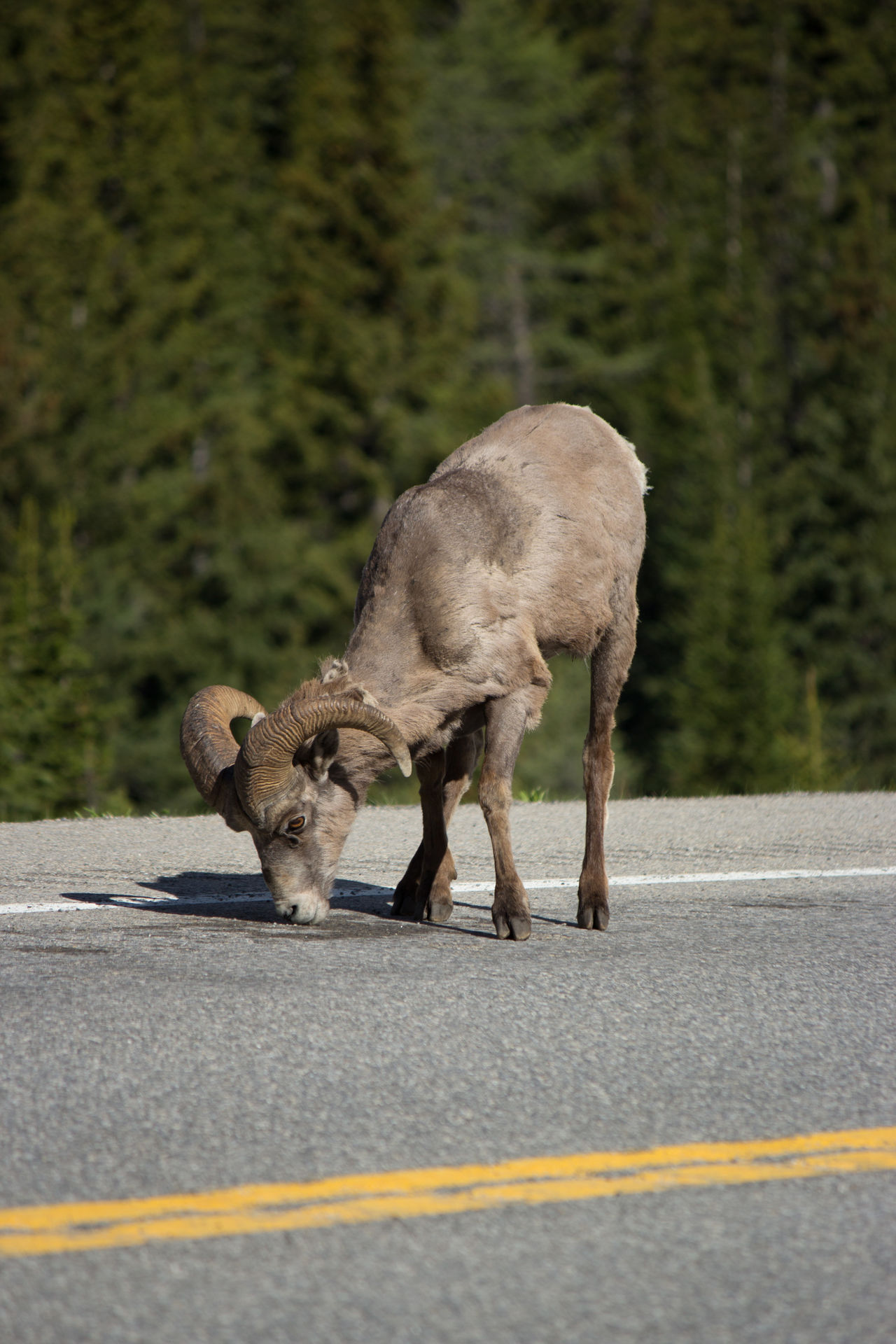 Rocky Mountain sheep in Banff, Canada Animal Animal Themes Animals In The Wild Day Hanging Out Mammal Mountain Sheep Nature No People One Animal Outdoors Road