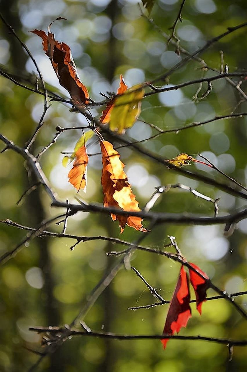 nature, leaf, beauty in nature, branch, autumn, outdoors, day, tree, growth, focus on foreground, no people, flower, fragility, close-up, freshness