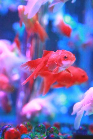 Dancers in the water Gold Fish Aquarium Eye4photography  Art Aquarium2015 EyeEm Best Shots Hello World