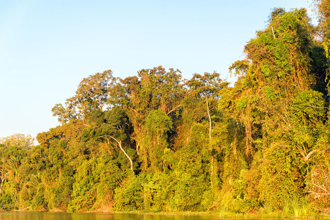 Foliage of the Amazon rainforest bathed in golden light at sunset in Madidi National Park in Bolivia Amazon Beni Bolivia Canoe Canoes Day Foliage Forest Green Jungle Lake Landscape Madidi National Park National Park Nature Outdoors Park Plant Rainforest River Rurrenabaque Scenics Tree Water Wilderness