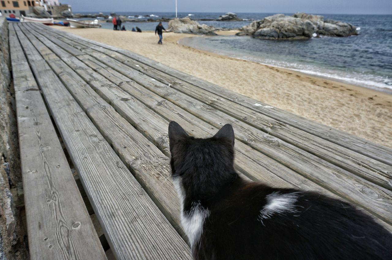 Cat On Boardwalk Looking At Sea