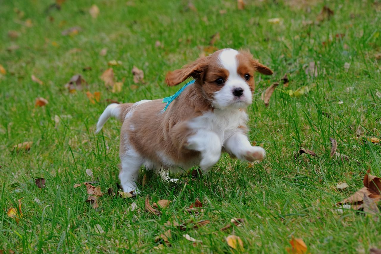 Young and Happy Ckcs Cavalier King Charles Spaniel Puppy Cavalier Puppy Cavalierkingcharles