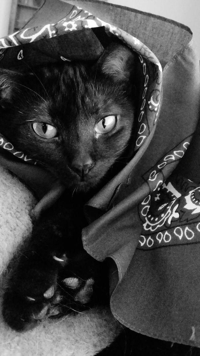 Black And White Black & White Cat Black Cat Eyes Bandana Animal Kittie Feline Relaxing Whiskers Piercing Eyes Paws EyeEm Best Shots Cats