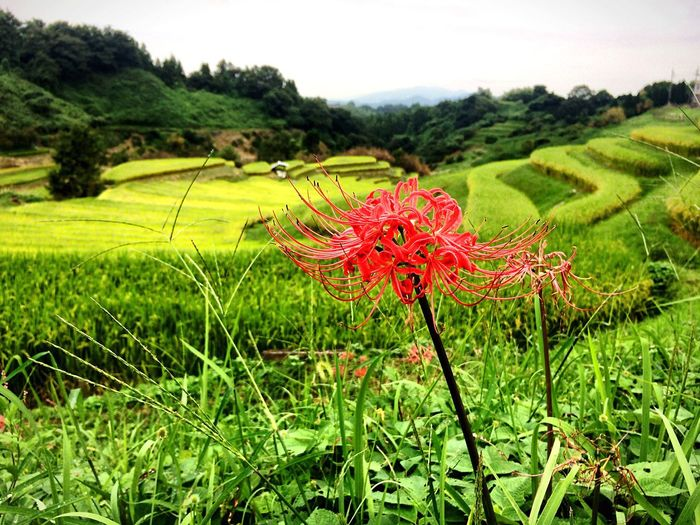 Cluster Amaryllis Rice Field From My Point Of View Autumn Autumn Colors Flowers 彼岸花 田んぼ Flower Collection EyeEm Nature Lover