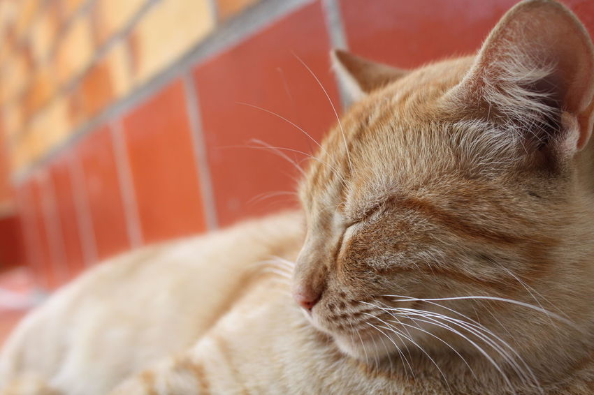 Animal Themes Cat Close-up Day Domestic Animals Domestic Cat Eyes Closed  Feline Focus On Foreground Ginger Cat Indoors  Mammal No People One Animal Pets Relaxation