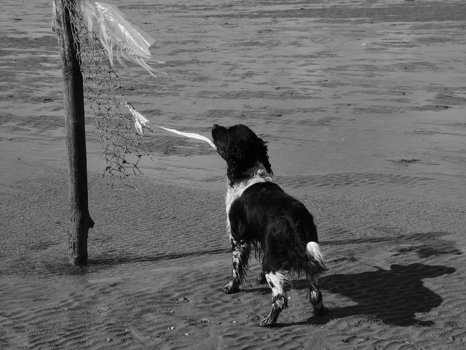 Strange object making strange sound. 2005 Animal Themes Beach Beauty In Nature Black And White Day Dog Domestic Animals Flag In The Wind Mammal Mark Nature No People Outdoors Pets Sand Sea Shore Water Wet