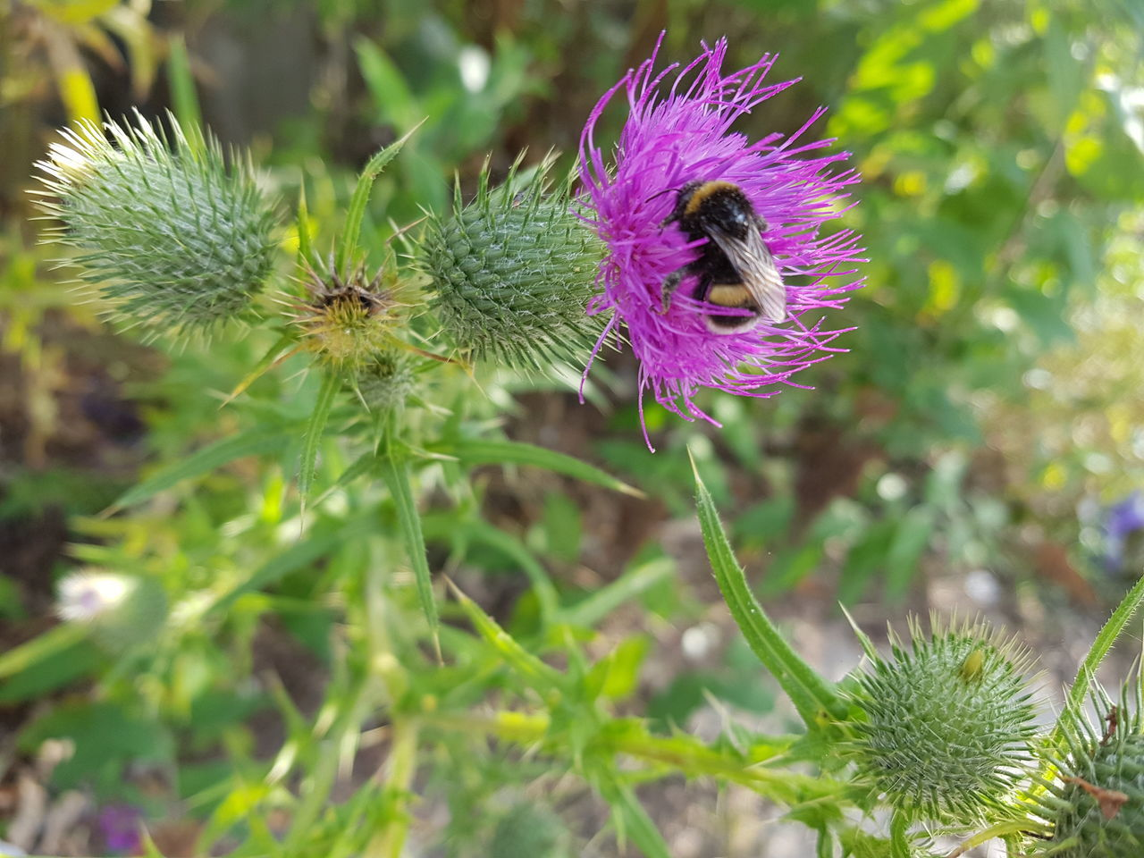 flower, growth, nature, one animal, purple, plant, insect, beauty in nature, animal themes, fragility, thistle, day, flower head, animals in the wild, petal, outdoors, focus on foreground, no people, pollination, freshness, green color, bee, close-up, blooming, bumblebee, passion flower