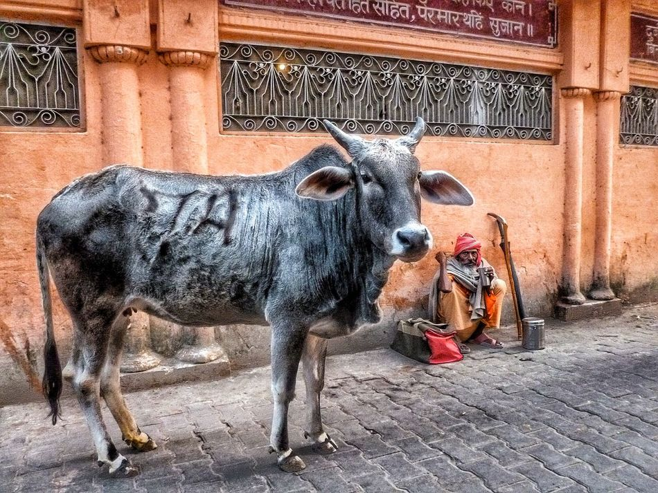The Street Photographer - 2016 EyeEm Awards Rishikesh India Streets Of India Orange Wall  Cow Cows In The Street Holy Cow Traditions Lifestyles Traditional Culture Baba EyeEm EyeEm Best Shots Eye4photography  EyeEm Best Edits EyeEmBestPics People Of EyeEm Close Up Indian Culture  Indian People Architectural Feature Stone Paving Traditional Clothing