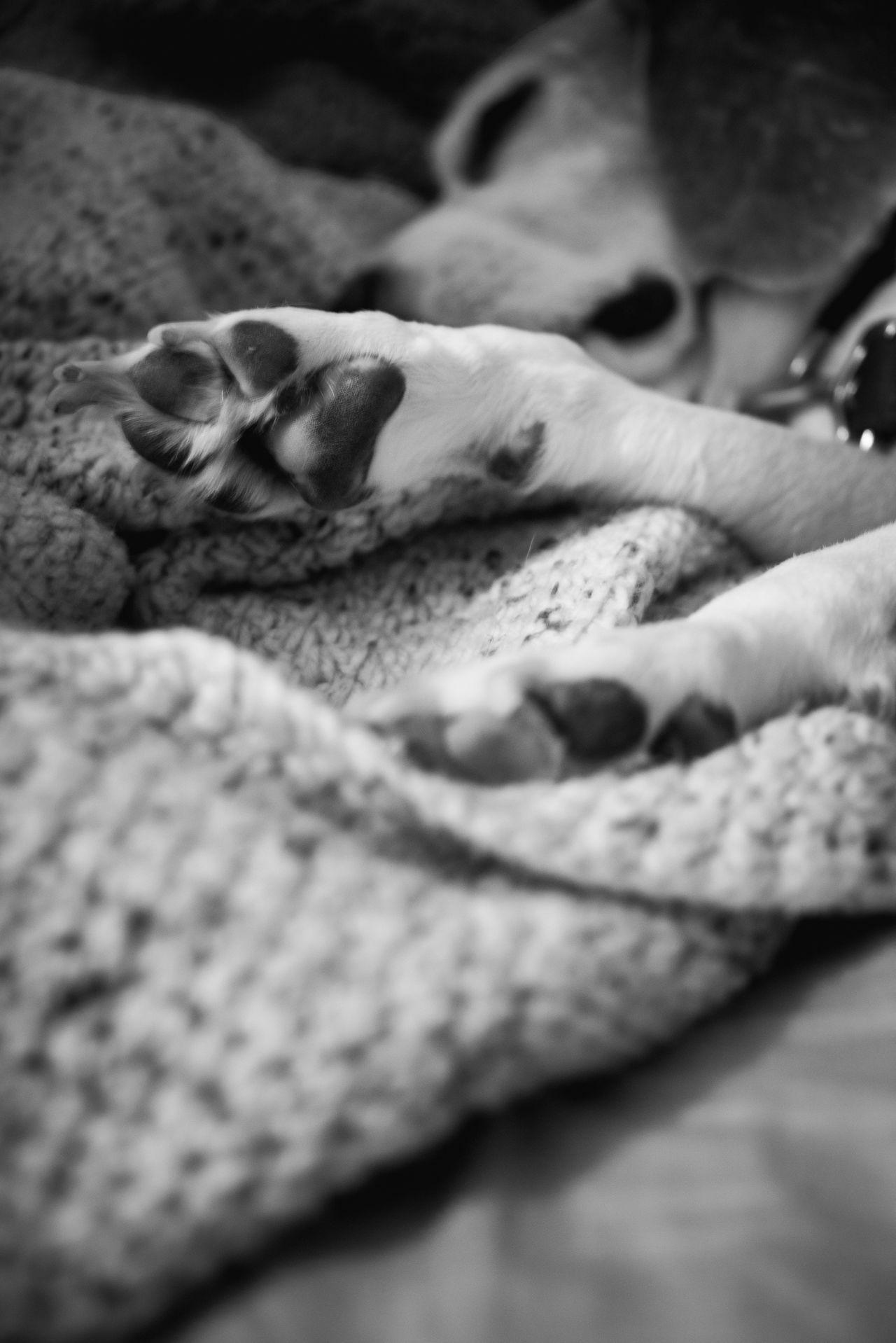 Beagle Beagle Love Beagle Paw Dog Black And White Photography Dog Paw Dog Photography Dog Portrait Dog Portraiture Dog Sleeping  Dog Sleeping In Bed Let Sleeping Dogs Lie No People Pet Photography  Pet Portraits Pet Portraiture Sleeping Beagle Pet Lifestyle Dog Lifestyle