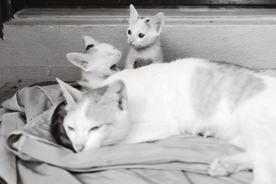Shades Of Grey Cat Catlovers Catlove Lovemom  🐈