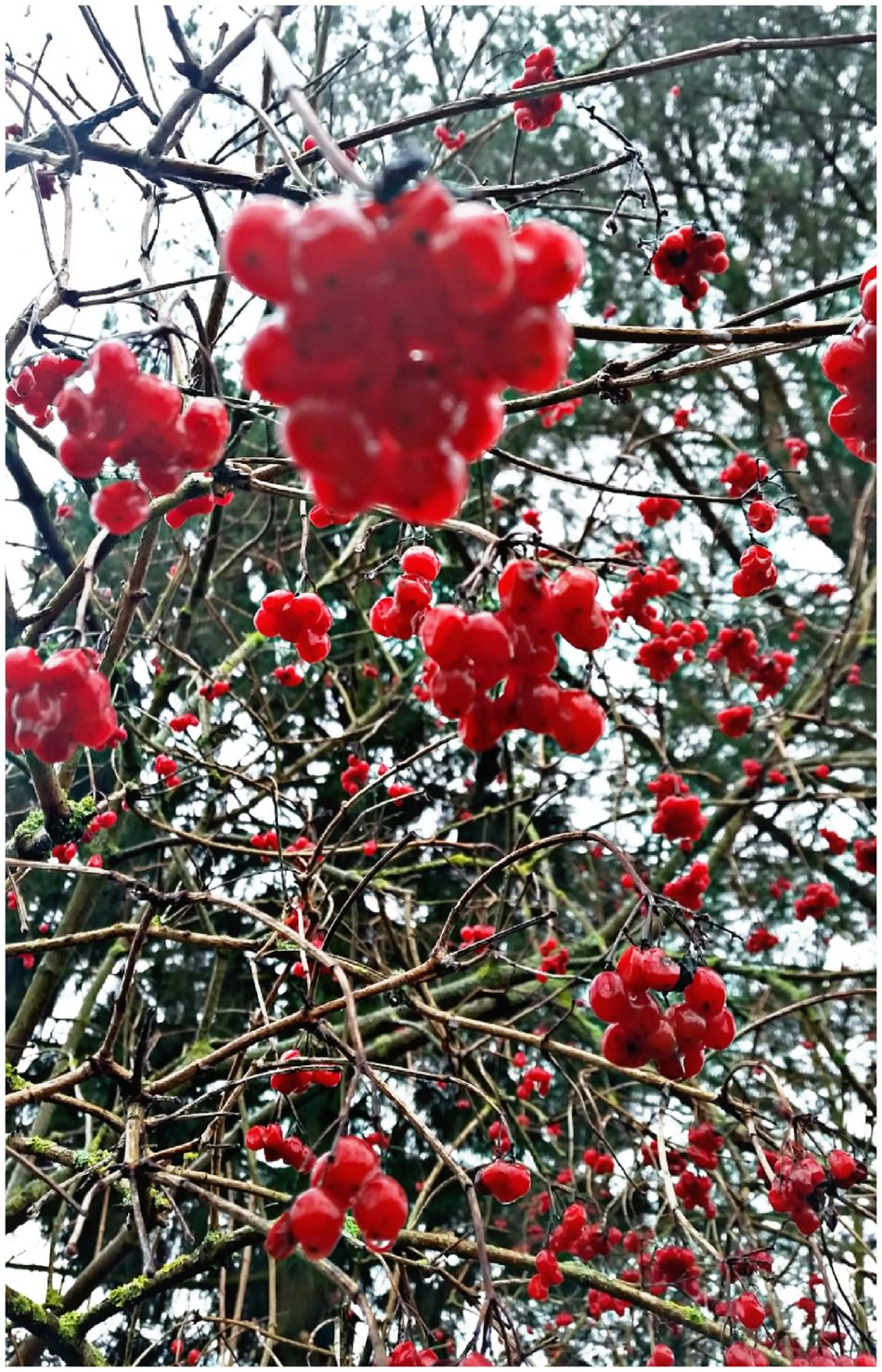 Plants 🌱 Berrys Red Color Freshness Beauty In Nature Outdoor Photography
