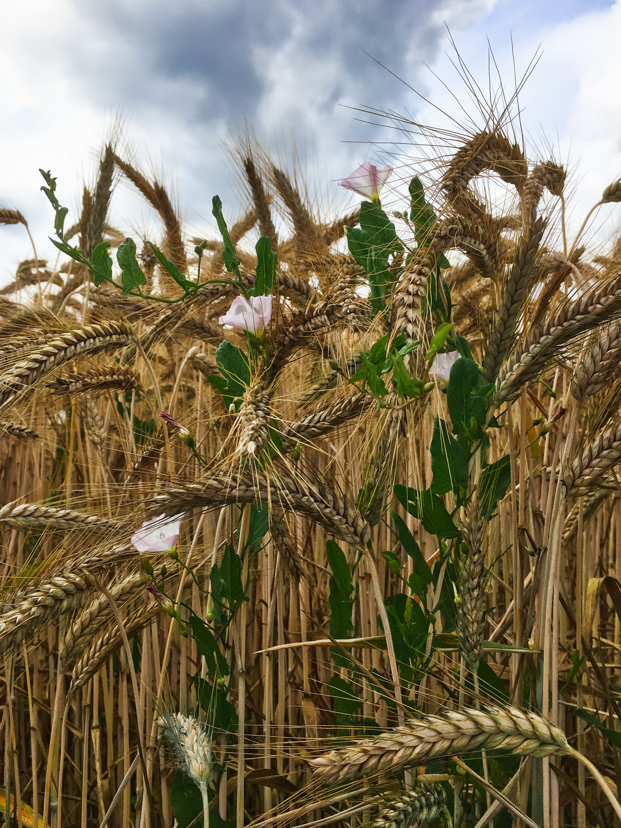 Weizen Agriculture Beauty In Nature Cereal Plant Close-up Corn Crop  Day Ear Of Wheat Growth Korn Low Angle View Nature No People Outdoors Plant Rural Scene Rye - Grain Sky Straw Wheat