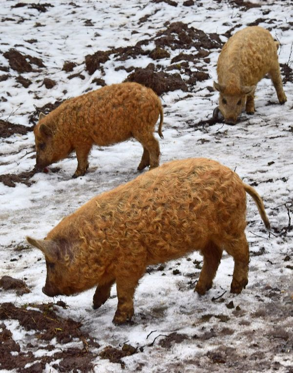 Animal Themes Beauty In Nature Cold Temperature Day Domestic Animals Field Landscape Mammal Mangalitza-wild Boar Nature Nature Photography Nature_collection No People Outdoors Snow Togetherness Weather Wild Boar Winter Young Wild Boar
