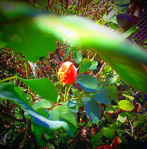 Depth Of Field Depth And Contrast Leaves Closeup Beauty In Nature Rosebud Botany Outdoor Photography Check This Out This Week On Eyeem Eyeemphoto Color Palette Eyeem Market Photo Of The Day Nature Is Art Nature Textures Nature Photography Nature Flower Porn Popular Flower Photography Leaves🌿
