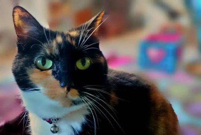 Sugar Plum Cats Tortoiseshell Cat Queen Cat Green Eyes Pretty Cat