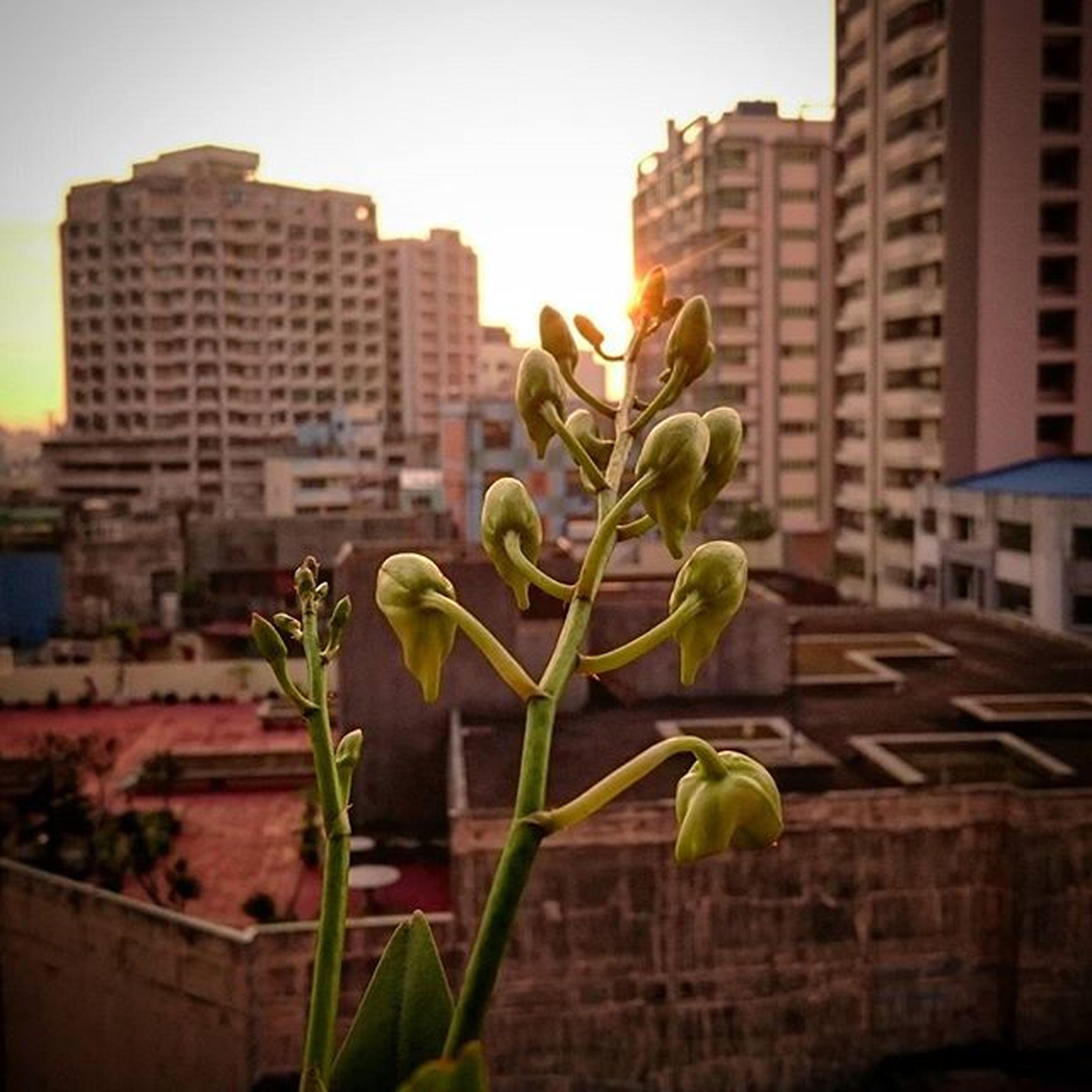 01/09/2016 Sunrise 3 SunIsUp Orchid Orchids Flowerbuds Flower Myflower MyFlowers Soontoopen Soontoooenflowers
