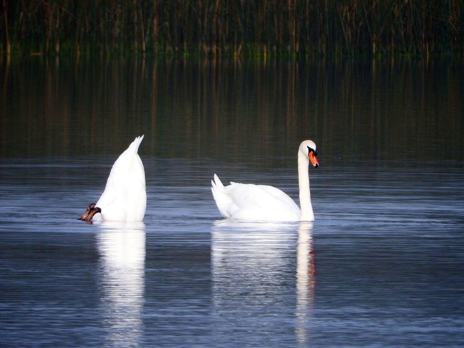 One Upmanship 😉 ~ Bird Animal Wildlife Animals In The Wild Lake Reflection Water Nature Swimming No People Swan Outdoors Beauty In Nature Animal Themes Day The Week On EyeEm Nikon Photography Beauty In Nature Nature On Your Doorstep Underwater Diving Bird EyeEm Birds Birds In The Wild White Feathers Beaks And Feet Mute Swan