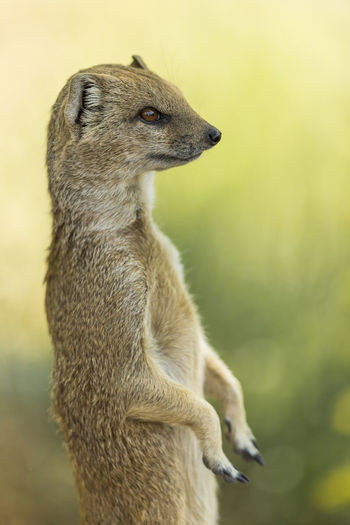 Cynictis penicillata [Canon EF 300mm f/2.8 IS II USM] African Animal Alertness Animal Mammal Meerkat Mongoose Red Meerkat Yellow Mongoose