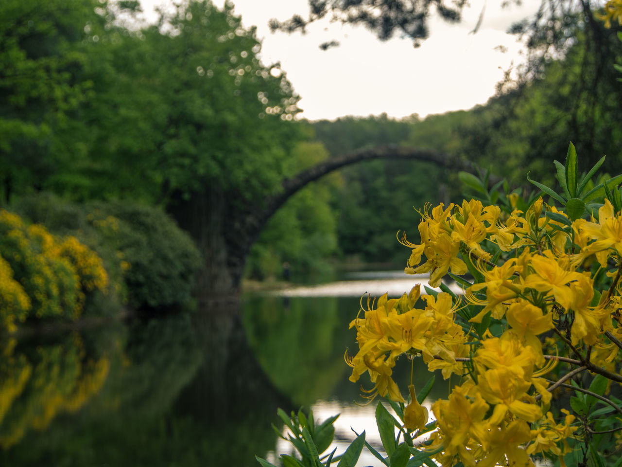 Blooming Blossom Botany Close-up Devilsbridge Flower Flower Head Focus On Foreground Fragility Freshness Green Color Growth In Bloom Nature No People Outdoors Petal Plant Rakotzbridge Selective Focus Stem Tranquil Scene Tranquility Tree Yellow