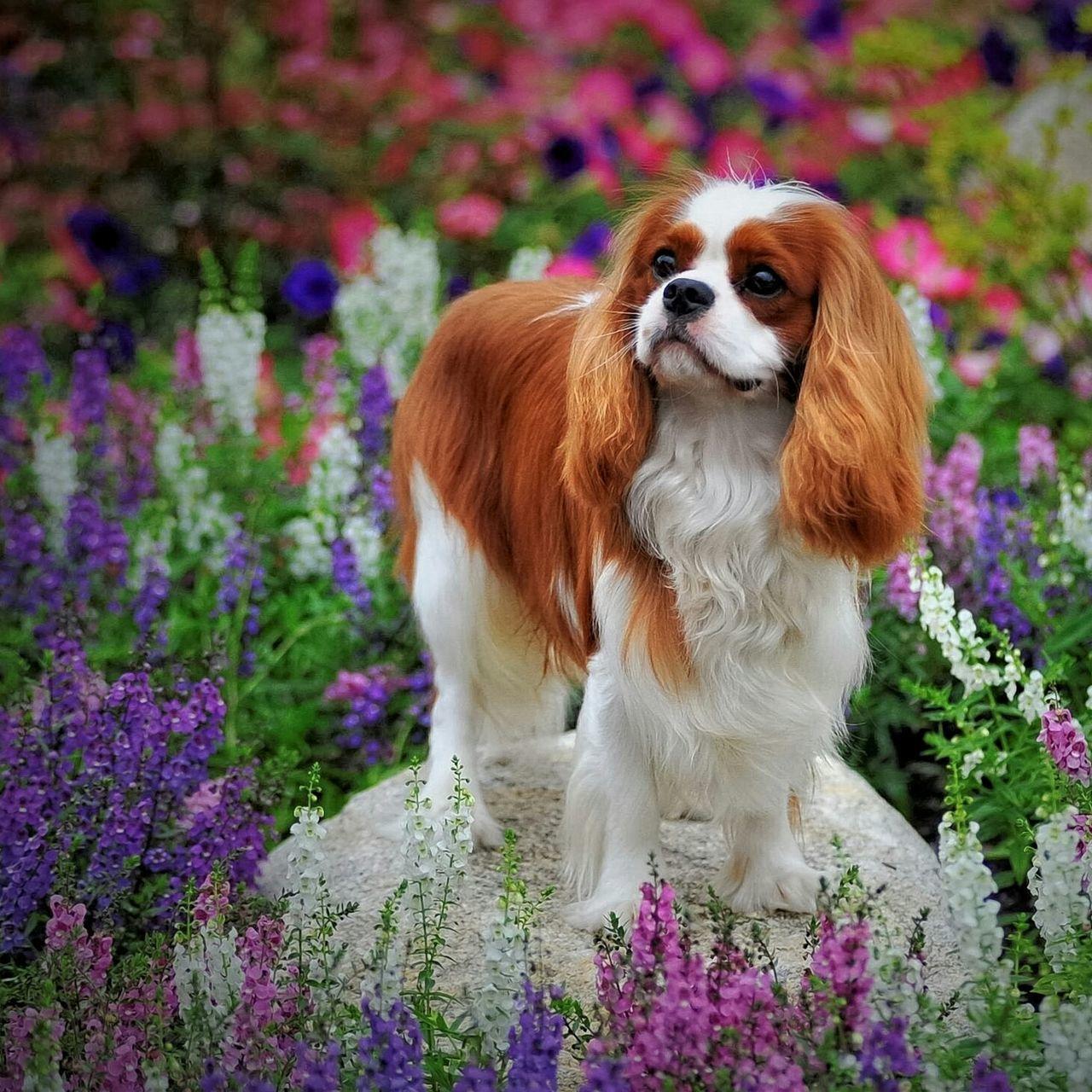 Leo and Beautiful Spring Flowers Cavalier King Charles Spaniel Cavalierkingcharles Cavalierking Ckcs Springtime