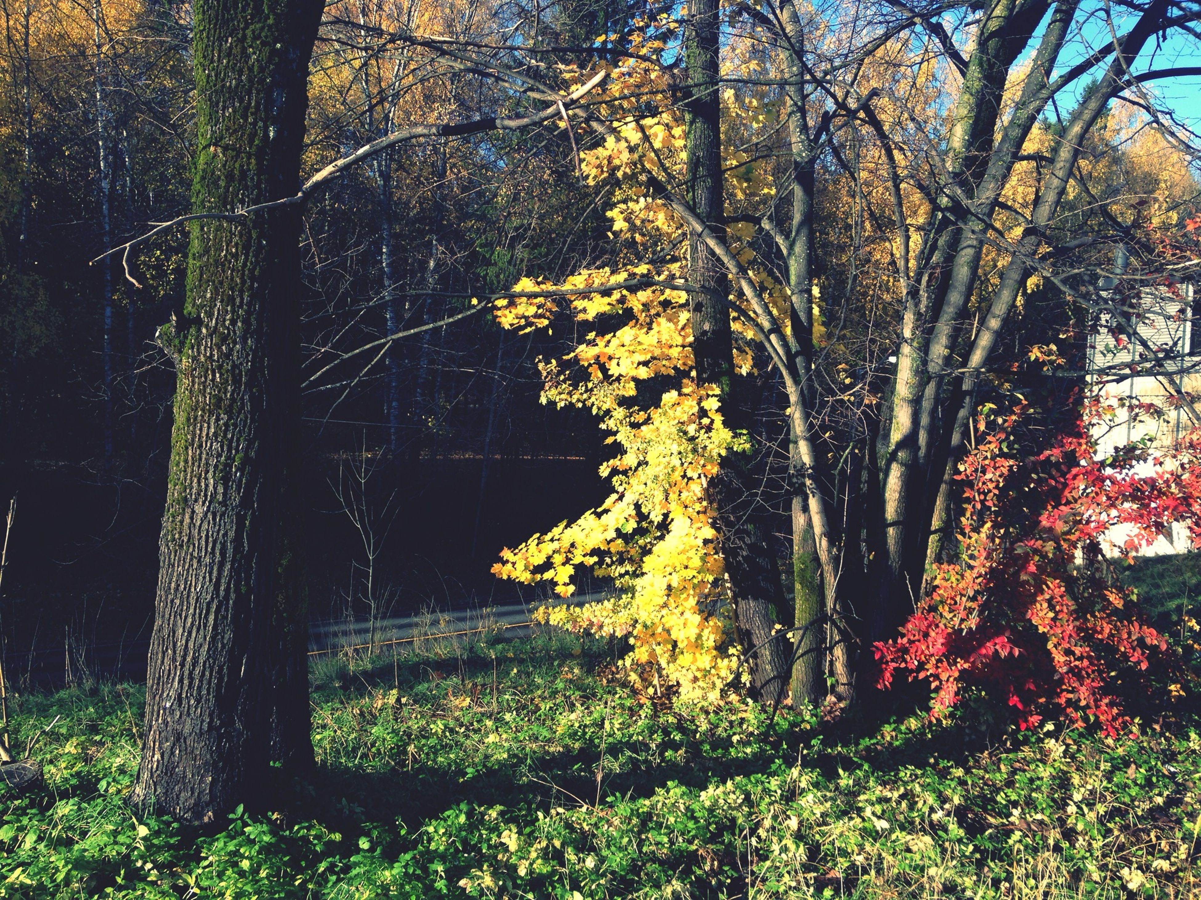 tree, growth, tree trunk, tranquility, nature, beauty in nature, branch, tranquil scene, plant, yellow, field, forest, sunlight, scenics, growing, outdoors, no people, flower, day, season