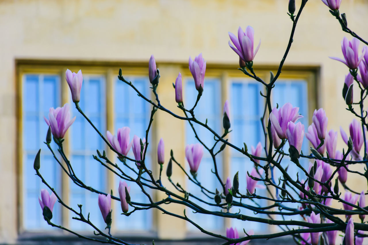 Beautiful stock photos of magnolie, beauty in nature, blooming, blue, close-up