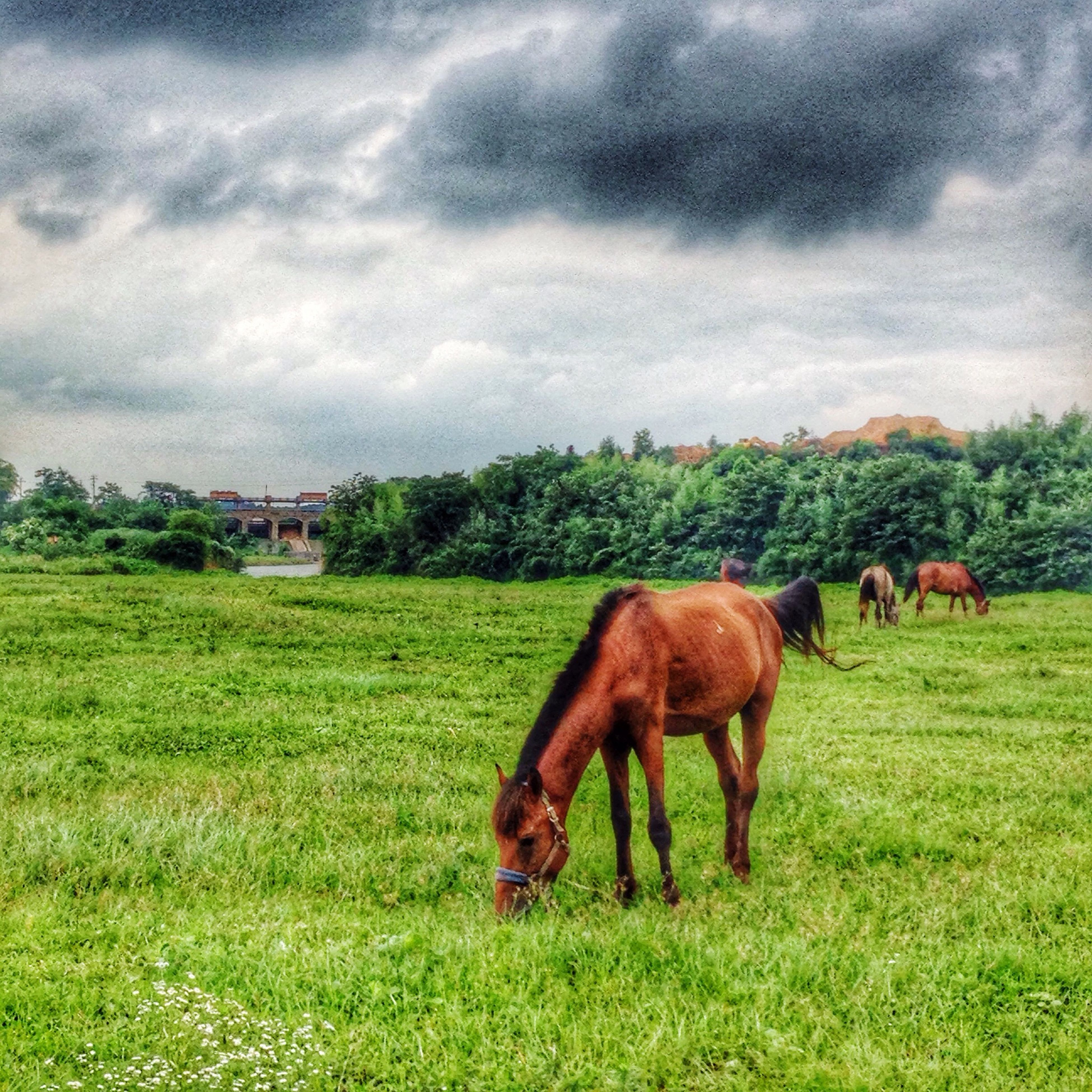 animal themes, grass, domestic animals, field, livestock, mammal, grassy, sky, grazing, green color, horse, landscape, cloud - sky, cow, pasture, cloudy, nature, tree, tranquility, cloud