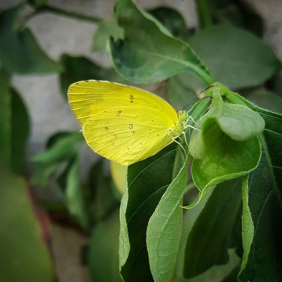 Nature Naturelovers Naturephotography Incridiblenature Spotted Leaf Redyellowgreen Awesome_shots Colorful Photographer Lovephotography  Greenlovers New Ig_myshot Instagram Insects  Insectlovers Iloveinsectsandbugs Butterflys Upclose  Ilovebutterflys Colorsofnature Yellowbutterfly Butterflysofinstagram Coolshot prefect perfecttime