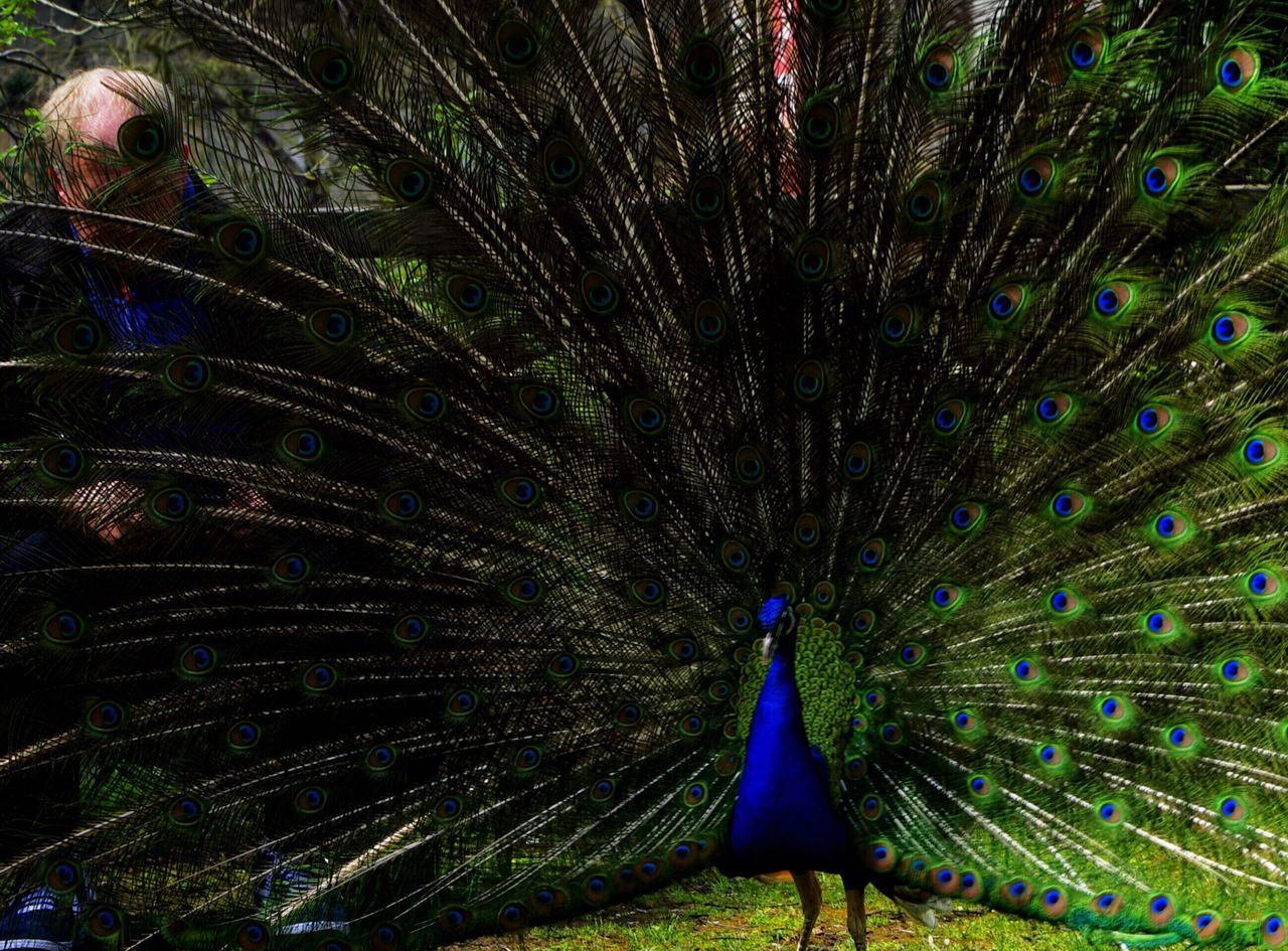 Peacock Dancing With Fanned Out Feather