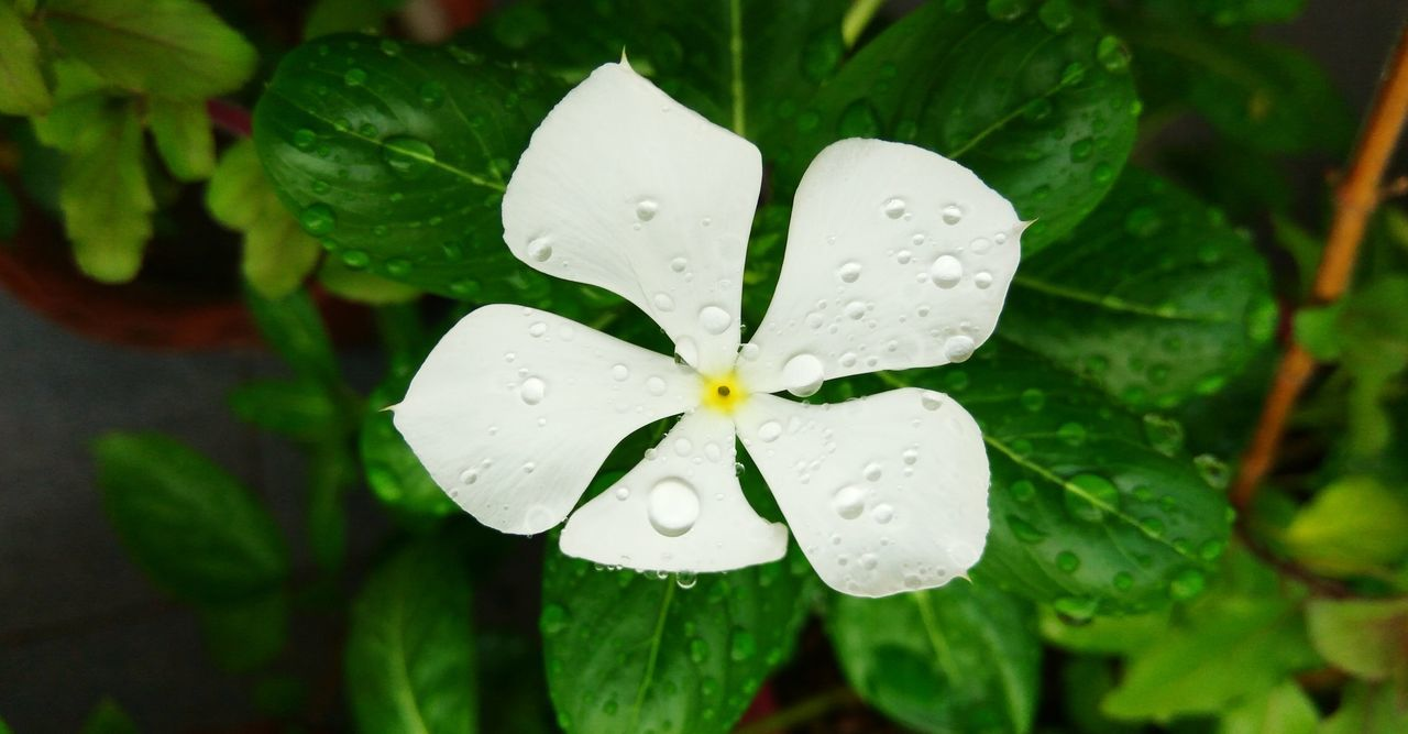 drop, leaf, wet, water, growth, freshness, green color, petal, plant, raindrop, close-up, nature, no people, day, periwinkle, beauty in nature, flower head, blooming, fragility, outdoors, flower