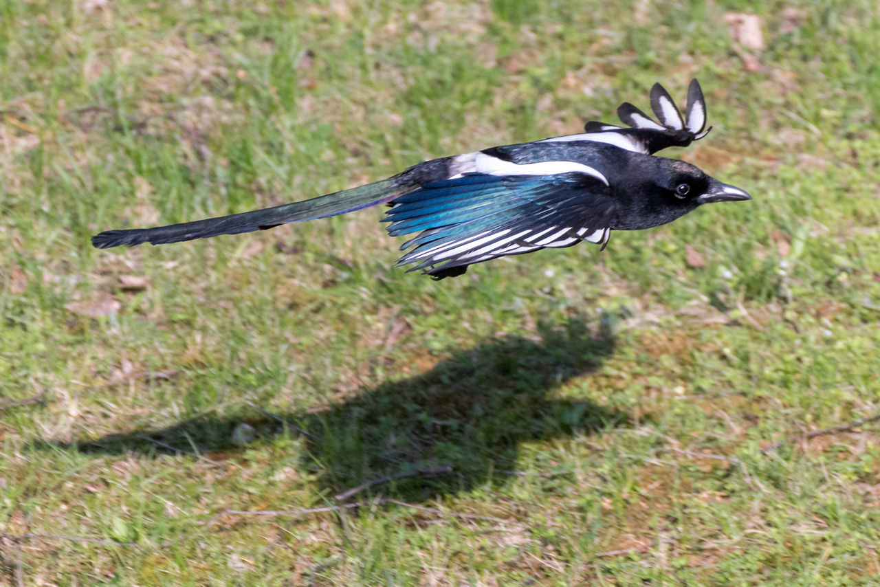 Animal Themes Animals In The Wild Bird Close-up Day Elster Magpie Nature No People One Animal Outdoors Spread Wings