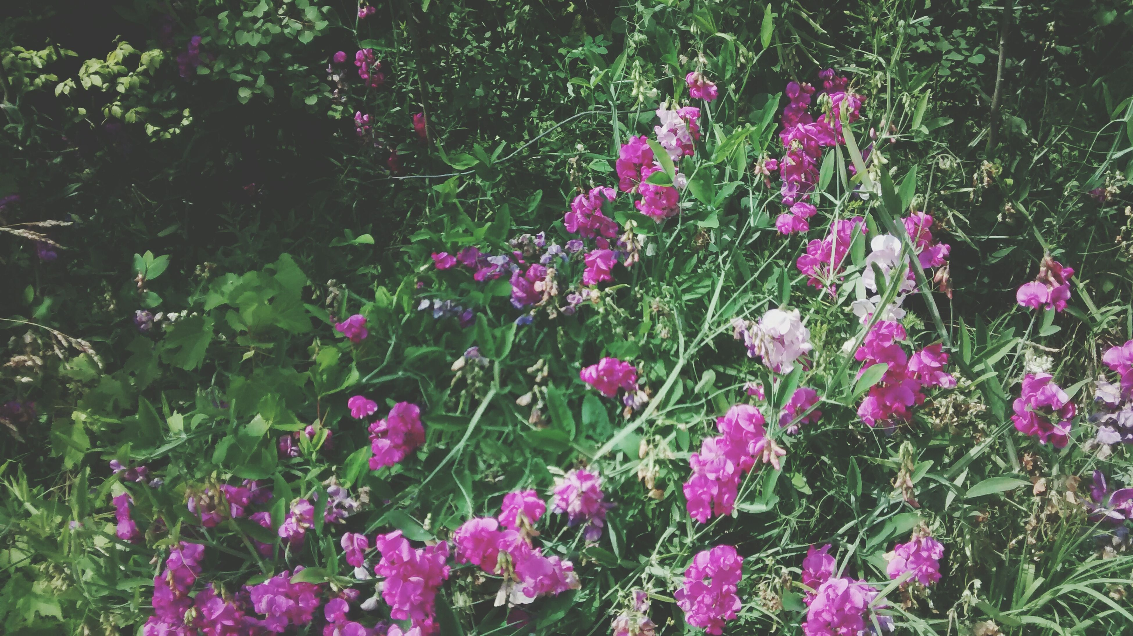 flower, growth, freshness, beauty in nature, fragility, plant, petal, nature, blooming, pink color, flower head, in bloom, green color, outdoors, day, no people, tranquility, purple, botany, growing, blossom, close-up, abundance, grass, focus on foreground, lush foliage, tranquil scene, selective focus