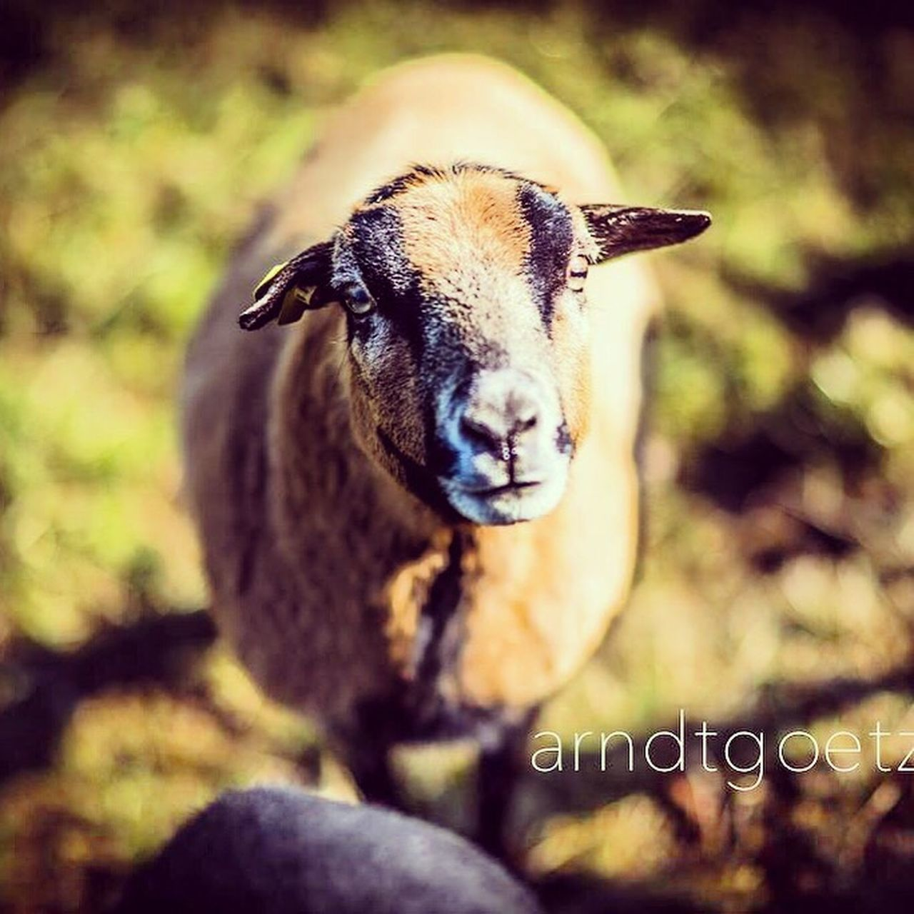 Portrait of an Sheep Cheese! Pets Odenwald  Animal Cute Pets Focus