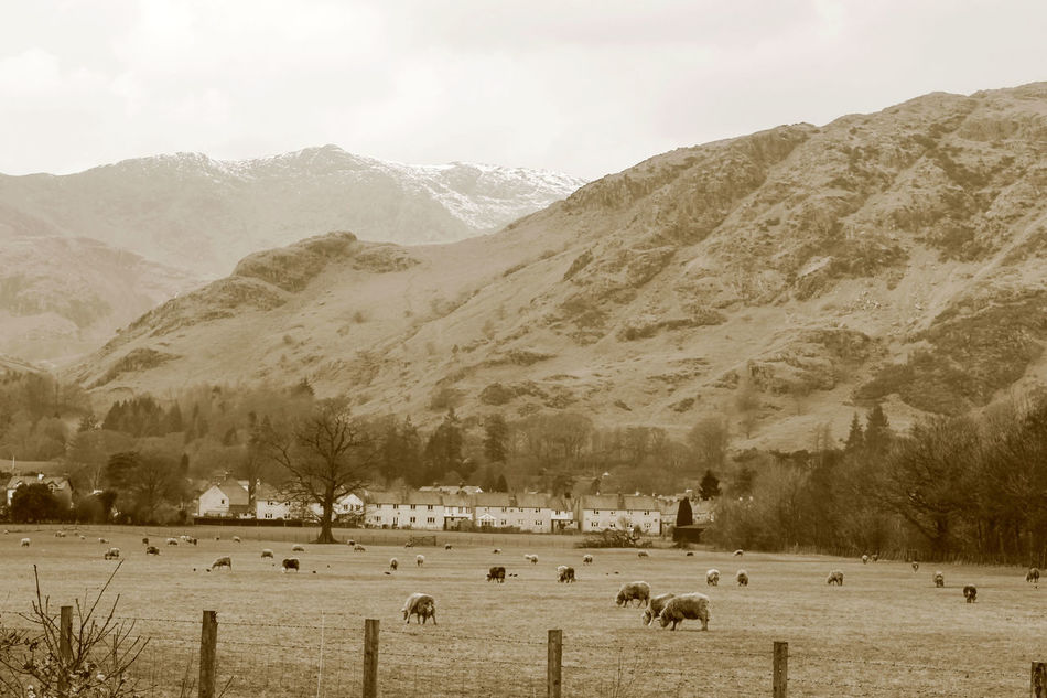 Beauty In Nature Coniston Coniston Water Lake District Landscape Livestock Mountain Mountain Range Rural Scene Coniston Waters The Lake District  Lake District Series Rural Scenes Rural Landscape Country Life Countryside Country Living Sepia_collection Sepia Photography Sepia EyeEm Best Shots EyeEm Best Shots - Landscape EyeEmBestPics EyeEm Gallery Landscape Photography