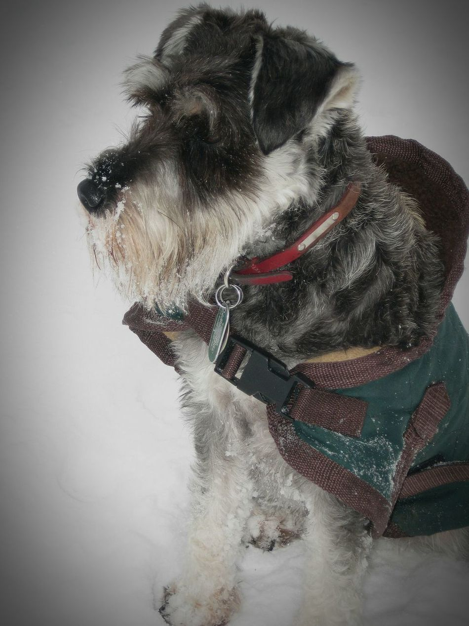 Snowy Schnauzer Dogs Snow Cold Winter Winter Memories Winter Time Miniature Schnauzer Schnauzer Terrier Dog Coat Dog Lover Pets Cute Pets Animals United Kingdom Canon Photography