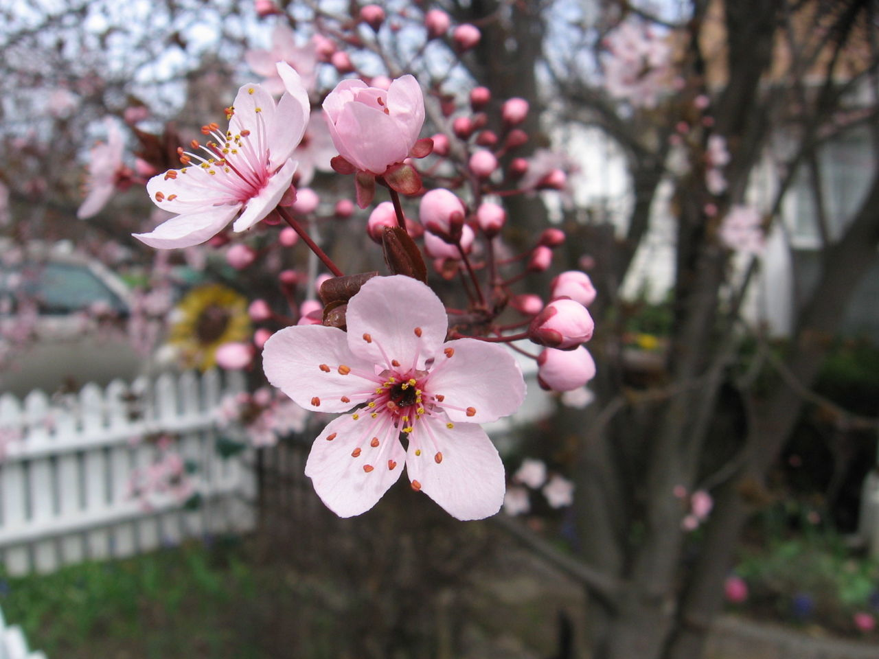 flower, fragility, beauty in nature, blossom, growth, freshness, springtime, pink color, petal, tree, no people, branch, flower head, nature, apple blossom, botany, focus on foreground, close-up, day, outdoors, stamen, twig, plum blossom, blooming