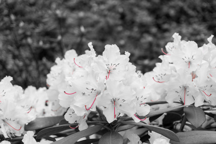 White Rhododendron Backandwhite Background Black Blooming Close-up Fine Flora Flowering Flowers Freshness Gardens Growing Growth Inflorescence Inflorescences Monochrome Nature Petals Pistils Plants Rhododendron Rhododendrons Soft Spring White