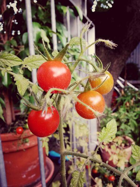 ...maten Tomate Frisch Vom Balkon Eigenernte