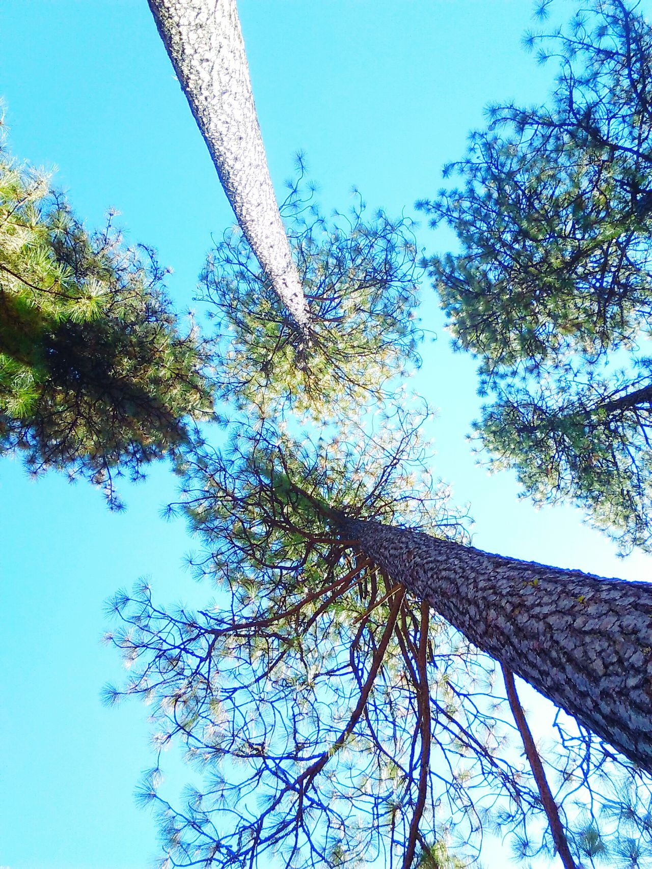 Loud thoughts. Treetops EyeEm Nature Lover Eye4photography  Treehugger Bluesky♡ Thinking Out Loud Taking Photos Loudthougts