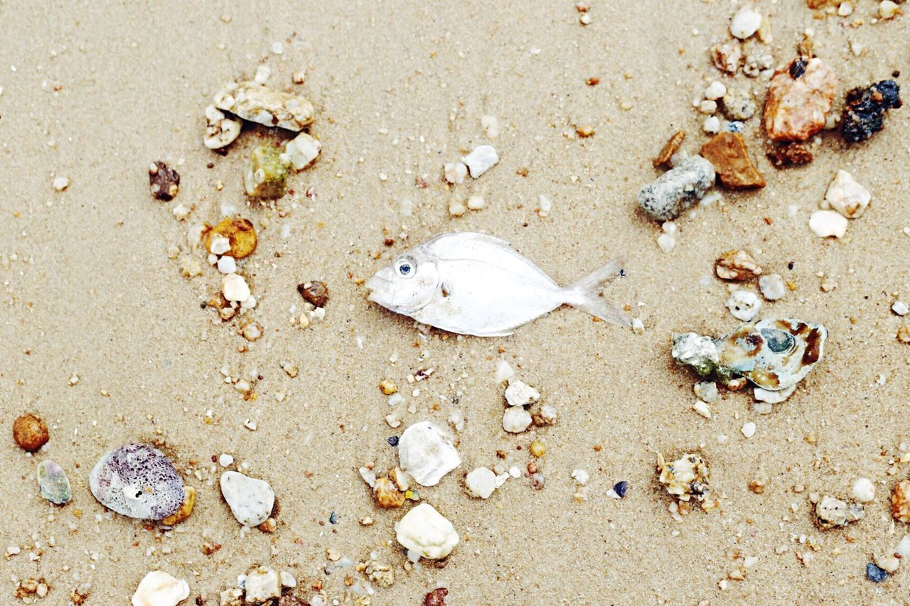 High Angle View Sand Beach Seashell Outdoors Day No People Animal Themes Nature Close-up LittleFish Fish Waterpollution Pollution