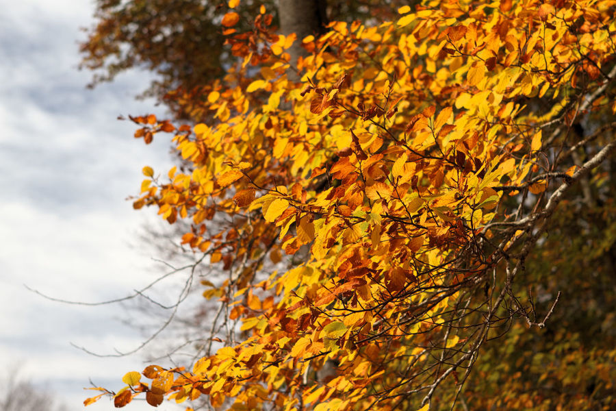 Autumn Beauty In Nature Branch Change Close-up Day Growth Leaf Maple Maple Leaf Maple Tree Nature No People Orange Color Outdoors Sky Tree Yellow Montelivata