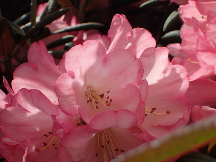Beauty In Nature Blossom Close-up Flower Flower Head Fragility Growth Petal Pink Color Selective Focus Stamen