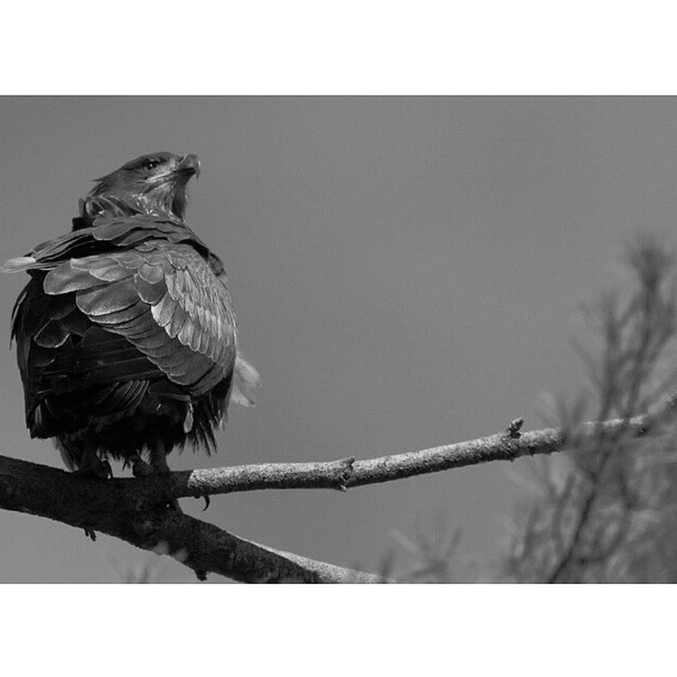 All_mighty_predators_bnw Allmightybirds Bestnatureshots Elite_natureshooter edit_perfection fabfaunas feather_perfection ig_exquisite ig_honours instanaturefriends bestnatureshots jj_justnature nature_uc rsa_nature_birds rsa_nature royalsnappingartists udog_feathers