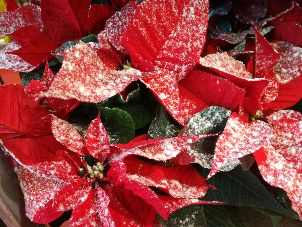 Red No People Full Frame Close-up Day Outdoors XMas Spirit X-mas Is In The Air🎄🎅 Spirit Of Christmas Christmas Flower Poinsettia Poinsettias Flowers In The Snow