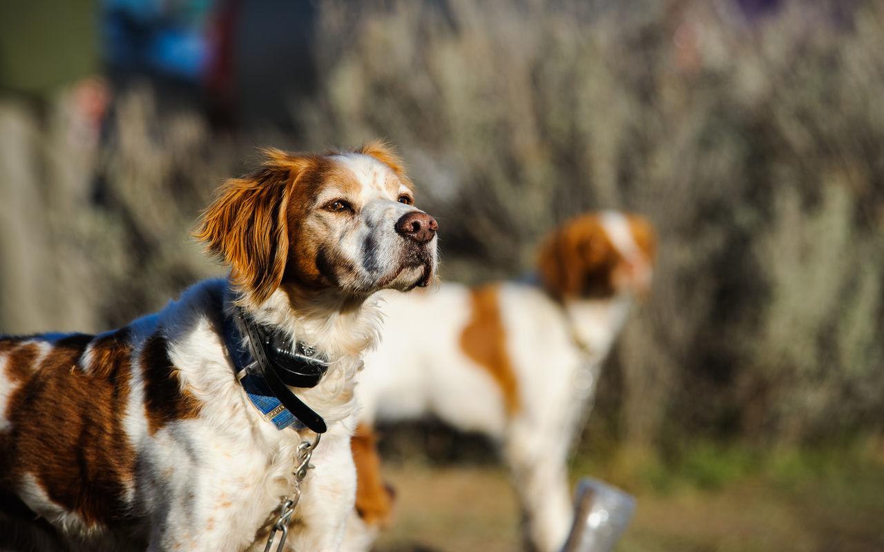 Beautiful stock photos of jagd, dog, domestic animals, mammal, pets
